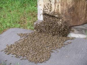 2006.05.27 Bienenschwarm 3