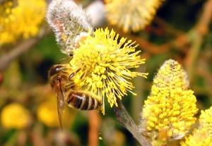 Salweide ist ein früher Pollenspender