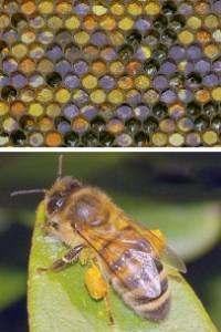 Pollen & Biene