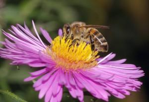 Pollensuche am Herbstaster